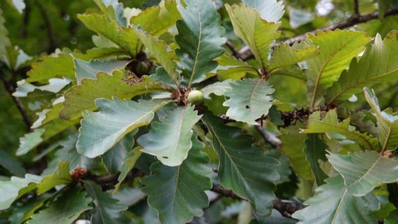 クヌギの葉と実