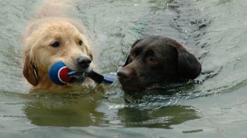 川で遊ぶ2匹の犬