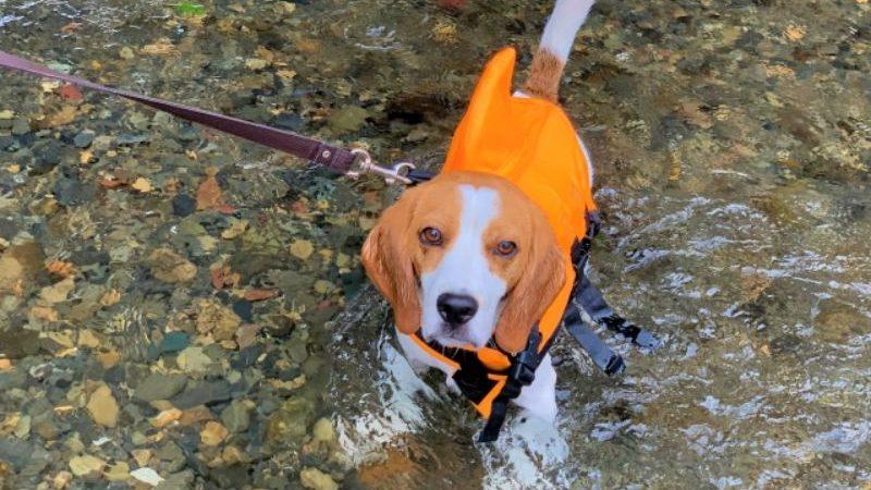 川に入る犬