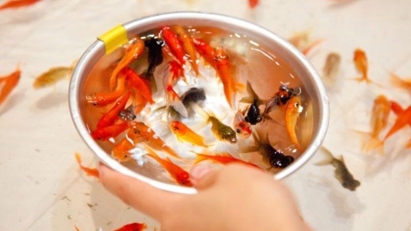 すくった金魚